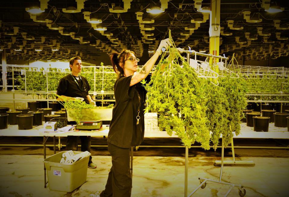 cannabis, marijuana, one cannabis, Christian Hageseth, weed, grow room, sativa, indica, dispensary