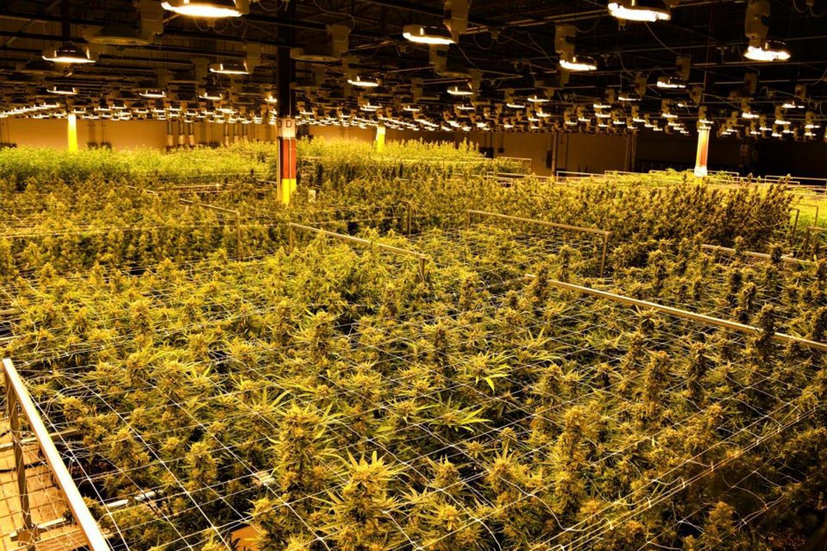 marijuana, cannabis, weed, grow room
