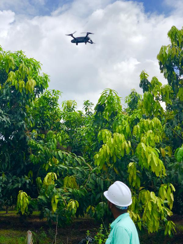 An agricultural drone trial at a mango plantation in Ghana's Western Region in September 2019.