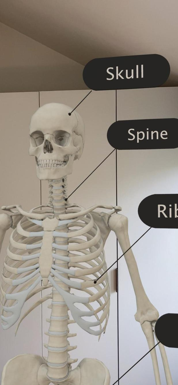 The human skeletal system, labeled.