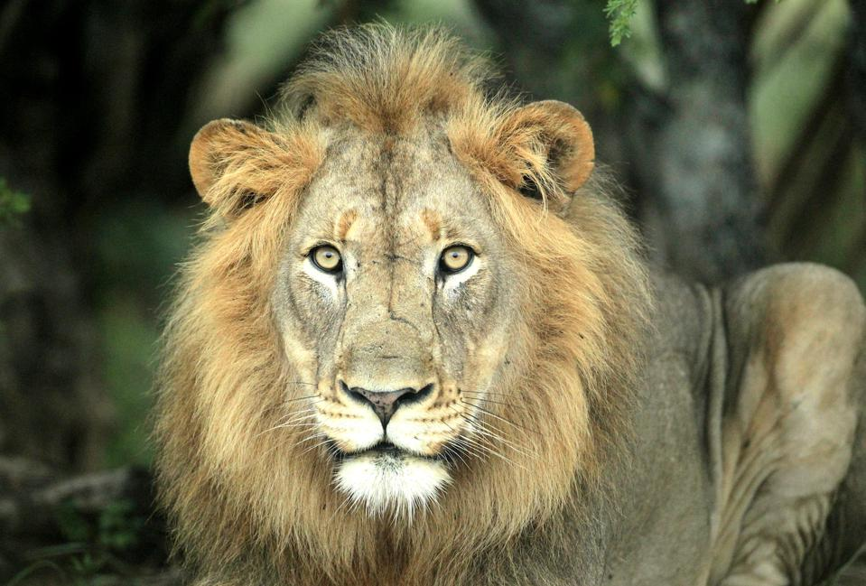 The African lion staring straight at us, in the wild