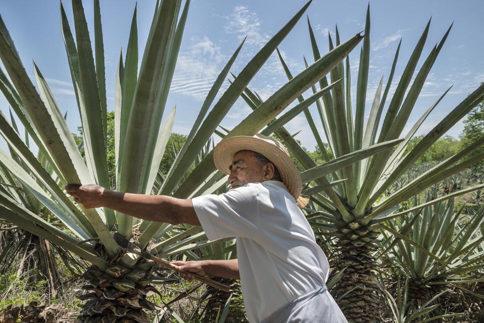 Producteur de cactus Henequen