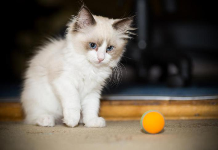 two month old Ragdoll kitten at home