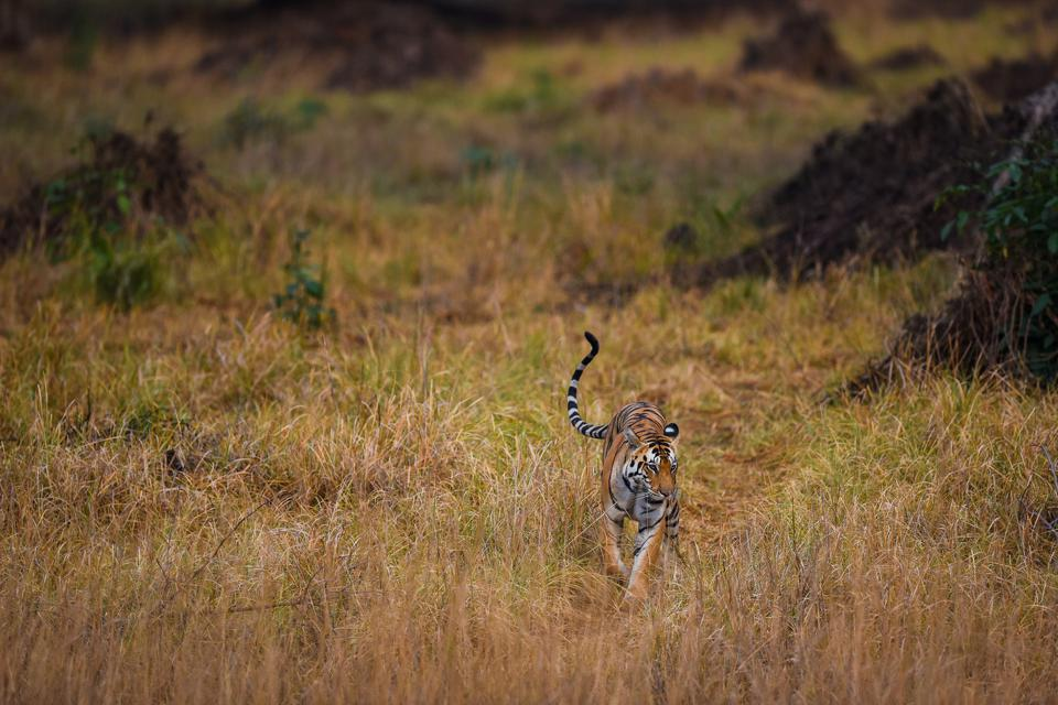 A tigress roaming around in her territory at meadows of kanha national park