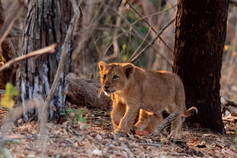 Cute little Lion cub in Gir forest