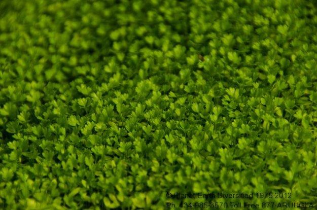 nano-micro-celery-leaf