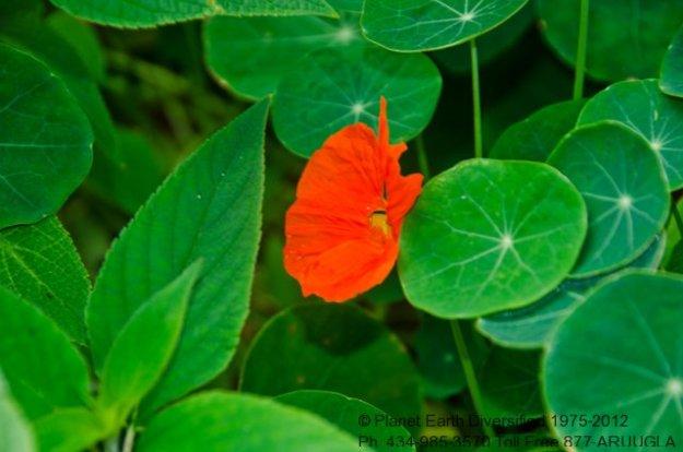 nasturtium-flower2