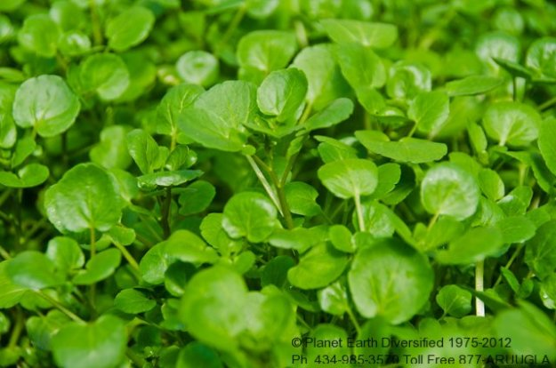 watercress-3