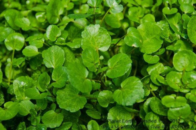 watercress-tops