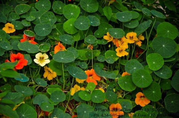 Naturtium  Flowers