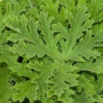 Rose Geranium medallions from Planet Earth Diversified