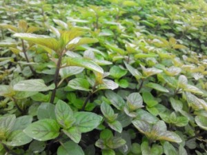 Chocolate Mint In Greenhouse