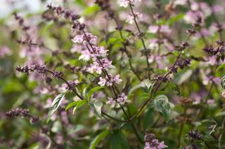 thai-basil-flowers