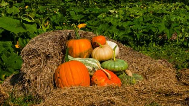*Video:pumpkins from the field