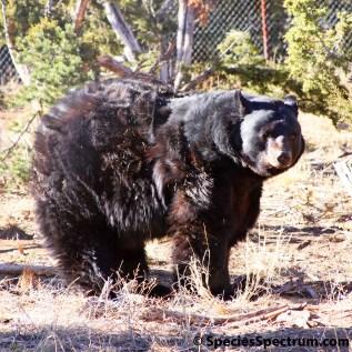 black-bear-wilderness-koshari-4802-square