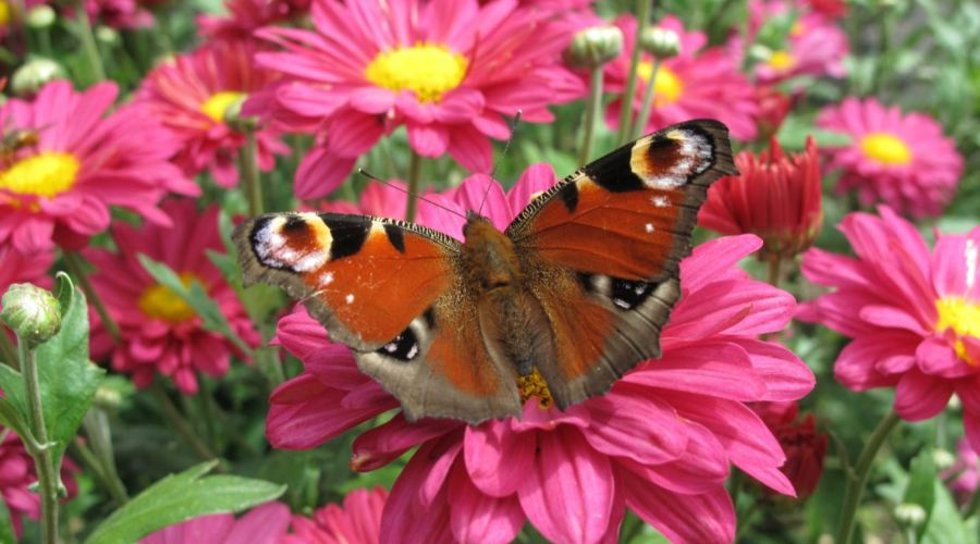 Peacock butterfly - (c) RHS Katy Prentice