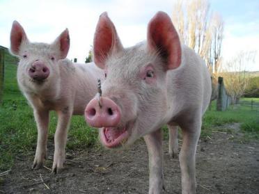 На Рівненщині спалах африканської чуми свиней (АЧС)