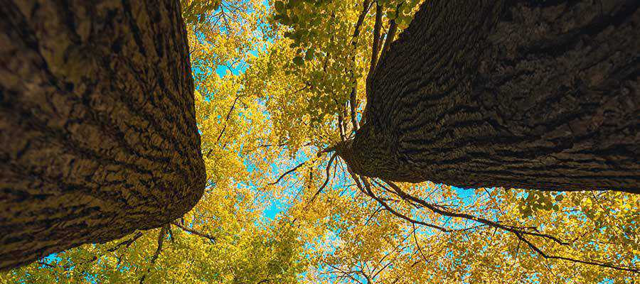 A bottom view of large trees.