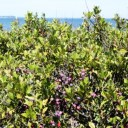 Beach Plum Jelly – Reduced Sugar Recipe