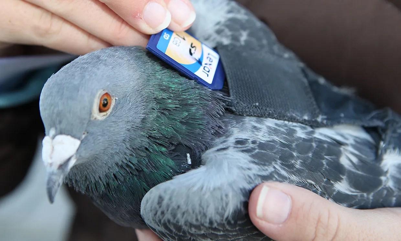 Une entreprise de rafting du Colorado transportait des films et plus tard des cartes SD vers des bases de pigeons.