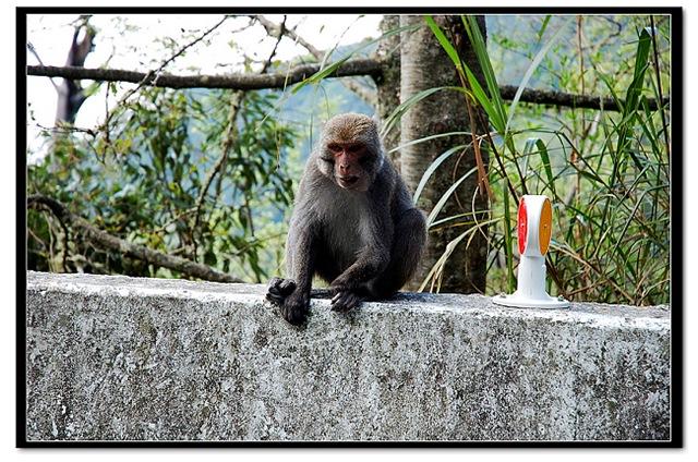 【嘉義】阿里山.遇見猴