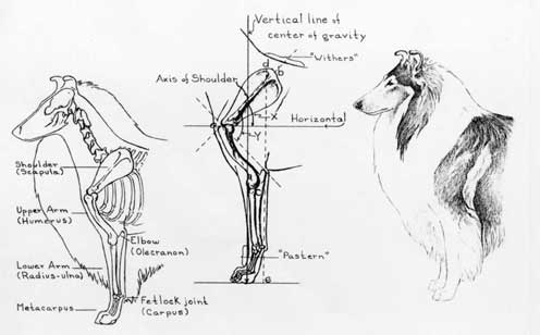 dog diagram outline large frank erwin center seating collie illustrations anatomy