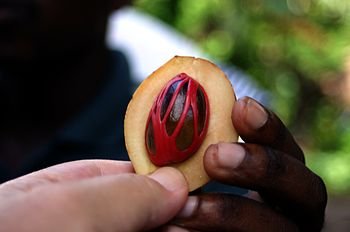 Myristica fragrans Nutmeg. The picture was tak...
