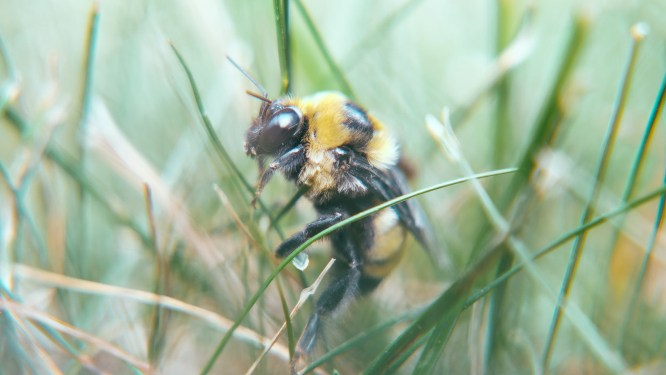 Bumblebee in the grass.