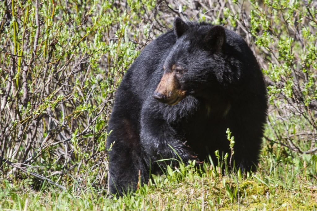 California Black Bears May Soon Be Off-Limits To Hunters