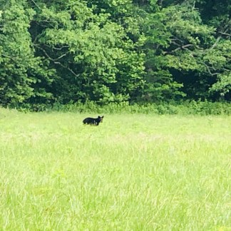 Momma bear and one cub moved along then realize this one is lagging behind