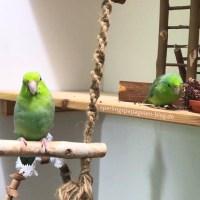 Freiflug für Papageien im Zimmer