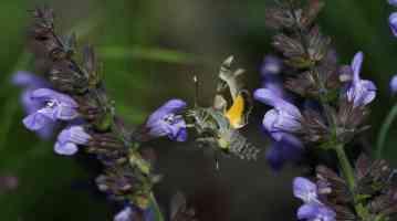 Proserpinus proserpina imago au vol France Le Roc Laplume (47)