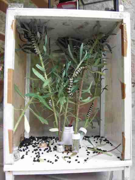cage élevage Hyles nicaea