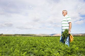 9423799-carrot-farmer-in-a-carrot-field-on-a-farm-stock-photo