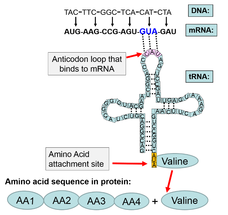relationship of trna and amino acids