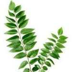 Indian- fresh-curry -leaves-image buy indian spice online spiceitupp