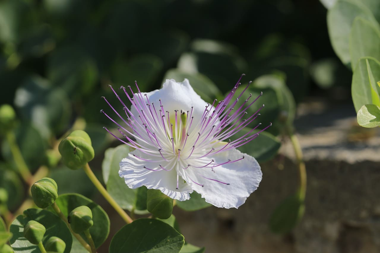 Каперсы растение