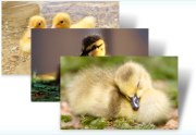 """""""Decorated Eggs"""" & """"Ducklings"""" 2 New Themes for Windows 7 and 8"""