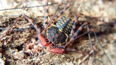 Phrynus pseudoparvulus