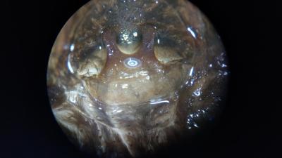Pamphobeteus sp. Costa