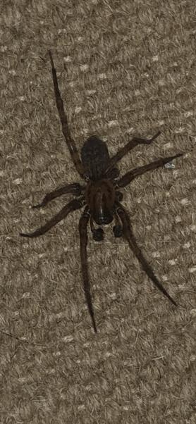 Spiders in New York - Species & Pictures
