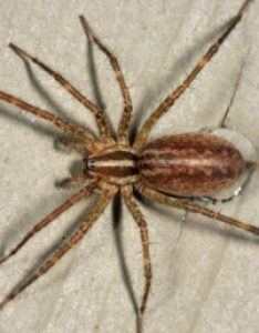 Featured spider picture of agelenopsis potteri also spiders in washington species  pictures rh spiderid