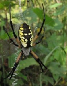 Featured spider picture of argiope aurantia black and yellow garden also spiders in iowa species  pictures rh spiderid