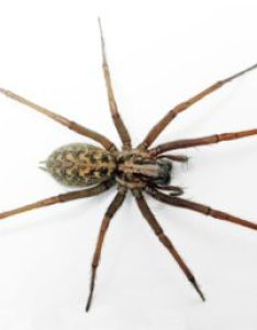 Featured spider picture of eratigena atrica giant house also spiders in washington species  pictures rh spiderid