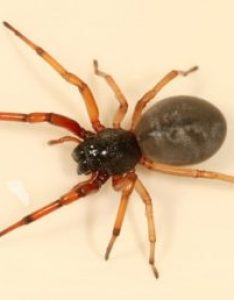 Featured spider picture of trachelas tranquillus broad faced sac also spiders in indiana species  pictures rh spiderid