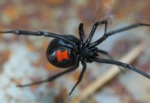 Shutterstock - Black Widow Spider - Sharon Keating