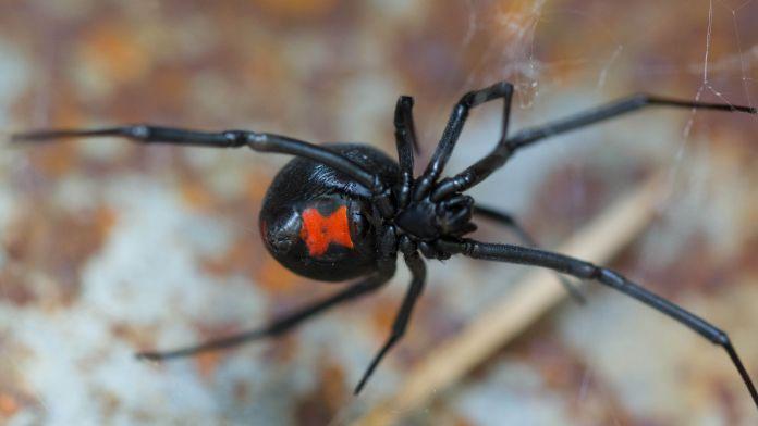 Shutterstock - Black Widow Spider - Sharon Keating