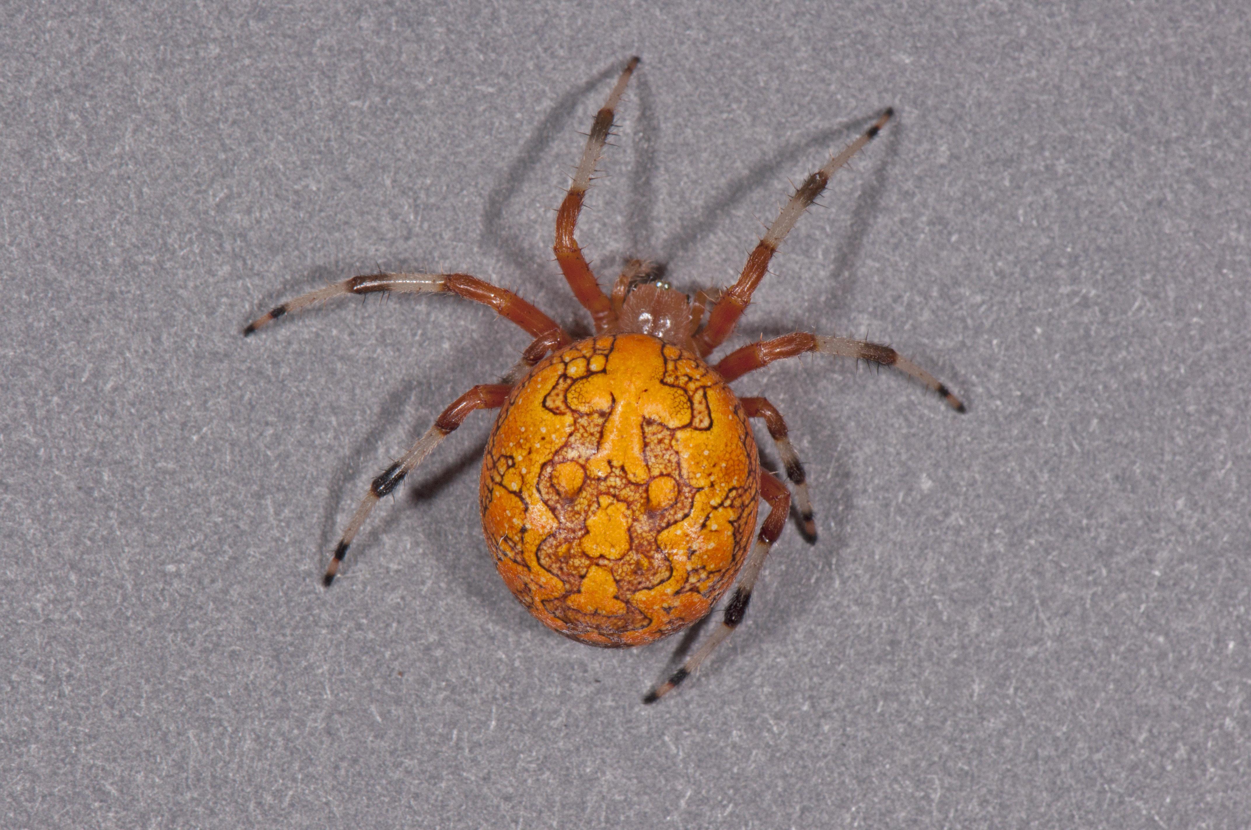 halloween spider spidersrule