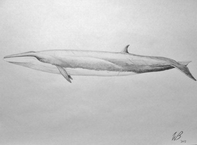 IMAGE 1 - sei_whale__balaenoptera