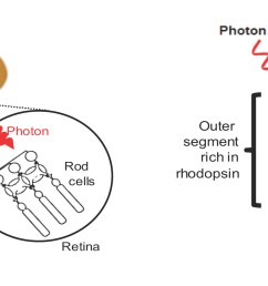 diagram for rod eye [ 2014 x 834 Pixel ]
